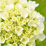 img_fiori_bianchi